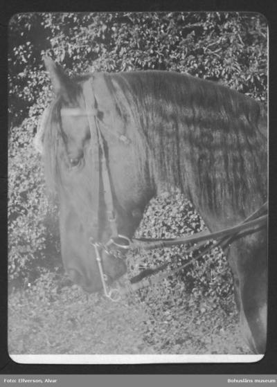 Ridhäst på Sundsby säteri 1919