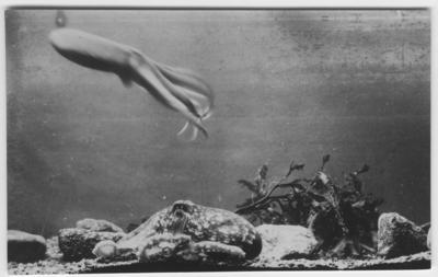 'Bläckfiskar. 1 bläckfisk på botten och 1 simmande. ::  :: Ingår i serie med fotonr. 1083-1089.'