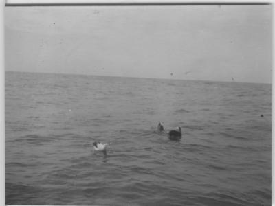 'Albatross i vatten. ::  :: Ingår i serie med fotonr.167-179, 181-184, 186-191, 193-196, 198-203 samt 205-215 med foton från Hilmer Skoogs expedition till Sydafrika år 1912-1913.'