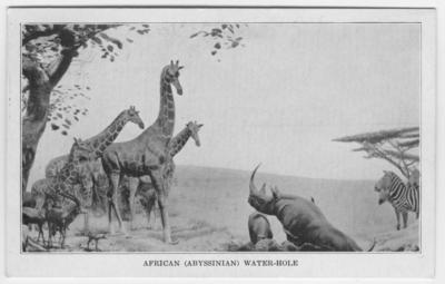 'Vykort med montering av giraffer, svart noshörning, Gant´s gasell och Gant´s zebror vid afrikanskt vattenhål. Djuren samlades in under Harold A. White-Johns Abyssinian expedition 1929. Djuren monterade av C. J. Albrecht och bakgrundsmålning av C. A. Corwin. :: Text på framsidan: ''African water-hole.'' På baksidan: ''African water-hole. Carl E. Akeley Memorial hall. This habitat group is one of the largest and finest existence. It shown twenty-three animals gathered at a drinking place or ''water- hole''. The species included in this view are the Reticulated giraffe, Black Rhinoceros, Grant´s zebra and Grant´s gazelle. Specimens collected by Harold A. White-John coats Abyssinian Expedition, 1929. Group by C.A. Corwin.'' ::  :: Ingår i serie med fotonr. 2914'