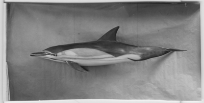 'Delfin, hängande avgjutning utförd av konservator David Sjölander. Fynddatum: 1943-09-19. ::  :: Bilden är med i Göteborgs Naturhistoriska Museums Årstryck 1944 s. 11. ::  :: Se även fotonr. 4249:1.'