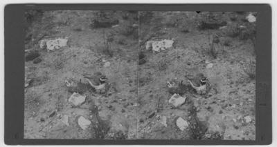 'Större strandpipare på ägg. ::  :: Ingår i serie med fotonr. 423-434. Stereoskopbilderna är numrerade 1-12 och till dem hör ett kort där det står: stereoskopbilder av danska djur och fåglar i naturen tillhörande djurläkare Roar-Christensen. Nr 1-4 mindre strandpipare, nr. 5-8 större strandpipare, nr. 9-12 svartbent strandpipare.'