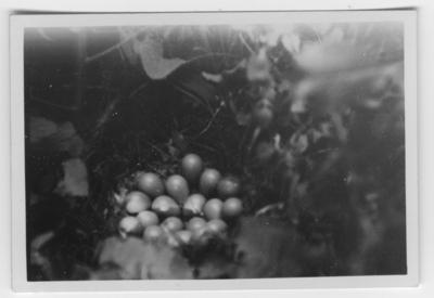 'Text enligt foto: ''Bo med 2 st nyvärpta ägg av rapphöna i ett buskage vid en åker invid Lenstads mosse. Fotot är taget på 55 cm avstånd.'' ::  :: Ingår i serie med fotonr. 4500:1-172.'