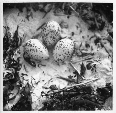 'Enligt anteckning på fotografiets baksida: :: ''Här ligga stranskatans 3 små gula ägg med stora svarta och grå ytfläckar direkt på sanden med tång och vasspinnar runt äggen. Bilden togs på 33 cm avstånd- även detta bo låg på samma lokal den 3 juni 1945 invid ett bo av svartbenta strandpiparen och 1 koloni på tre små tärnbon. 3 ägg i 2 och 1 i det tredje.'' ::  :: Ingår i en serie med fotonr. 4512:1-57 med diverse foton av fågelbon med ägg och ungar. Varje fotografi har utförliga anteckningar på sin baksida, kopierade från framsidan, spår av de på framsidan är fortfarande synliga.'