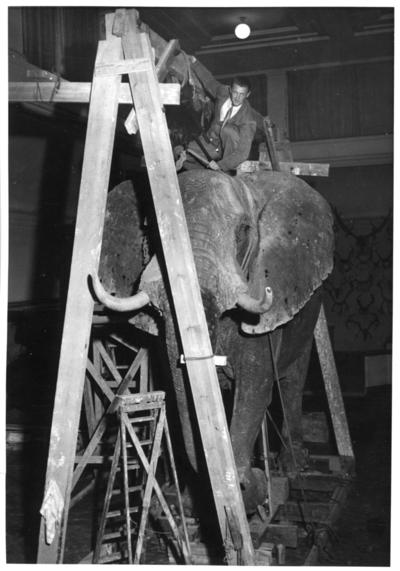 'Monteringen av Göteborgs Naturhistoriska museums elefant, från Angola. ::  :: Den färdiga elefanten fortfarande på träställning, med en man sittandes på dess rygg. I bakgrunden syns vägg med uppsatta horn. Ev. arbete med att sätta fast skinnet. ::  :: Fynddatum: 1948-12-04. Elefanten skjuten och monterad av David Sjölander. ::  :: Elefanten finns utställd på Göteborgs Naturhistoriska Museum i däggdjurssalen. ::  :: Ingår i serie med fotonr. 4576:1-18.'
