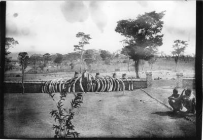 'Diverse fotografier från bl.a. dåvarande Nordrhodesia, nu Zambia, tagna av Konsul Magnus Leijer. ::  :: 1 st man stående vid en mur där 30 elefantbetar står lutade, samt 4 elefantfötter är uppradade. I förgrunden sitter 2 st män och tittar på honom.'