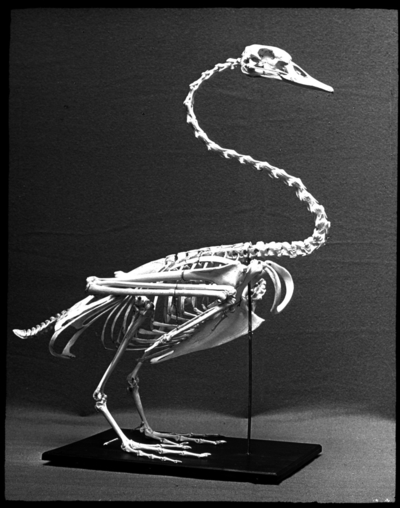 'Monterat skelett av sångsvan, sett från sidan. ::  :: Från Dr. Schlüter & Mass, Halle a S naturvetens. Läromedel. Numrerad I.B. Nr. 12. ::  :: Ingår i serie med fotonr. 5374:1-30. Se även hela fotoserien 5374-5376.'
