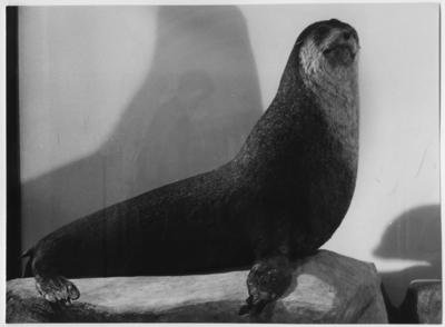 'Bilder från Göteborgs Naturhistoriska museum tagna som övningsuppgift av fotografer på Göteborgs Stads yrkesskolor: ::  :: Crozet-öarnas pälssäl, 1 st vuxet djur sett från sidan. ::  :: Ingår i serie med fotonr. 6953:1-53.'