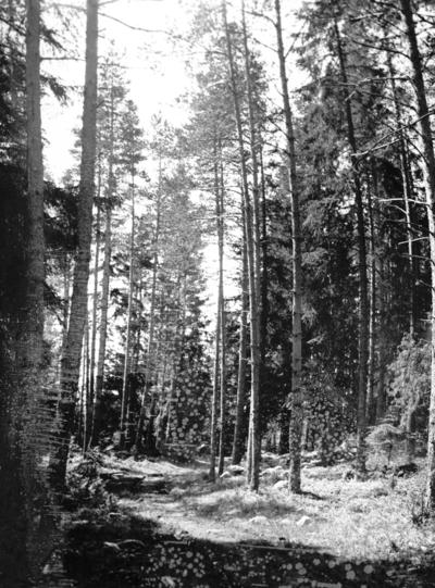 Motiv från fäboden. År 1906.