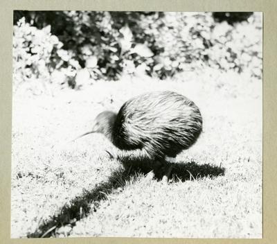 Bilden föreställer en kivifågel i ett grönområde. Bilden är tagen i samband med minfartyget Älvsnabbens långresa 1966-1967.