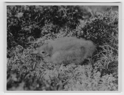 'Unge av fjällabb bland ljung och lavar, sedd från sidan. Närbild. ::  :: Ingår i serie med fotonr. 2116- 2160.'