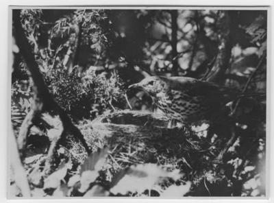 'Taltrast (Sångtrast) på bokanten, sedd från sidan. Närbild. ::  :: Ingår i serie med fotonr. 2272-2304.'