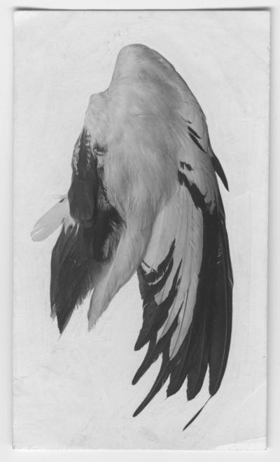 'Från Kjell Kolthoffs Kina-expedition 1921-1923: ::  :: Fasanjacana, hona, vinge. ::  :: Ingår i serie med fotonr. 2636-2656.'