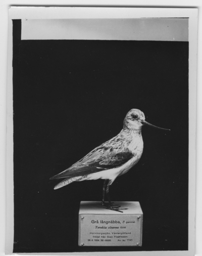 'Tereksnäppa, hane. Inköpt: 1934-04-28. ::  :: Montaget finns utställt i monterskåp nr. 189 i fågelgången på Göteborgs Naturhistoriska Museum (2008-02-07). ::  :: Bilden med i Göteborgs Naturhistoriska Museums Årstryck 1937 s. 12.'