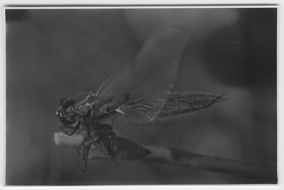 Ingår i bildserie med fotonr. 4051:1-9 på när sländan sittande på gren kommer ut ur sista larvhuden.