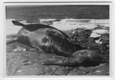 'Späckhuggare, strandad på Brattön: ::  :: Späckhuggare liggande på sidan på klippstrandkanten. Sedd bakifrån med stjärtpartiet i förgrunden. Vy ut mot havet, isflak vid strandkanten. ::  :: Ingår i serie med fotonr. 4212:1-6.'