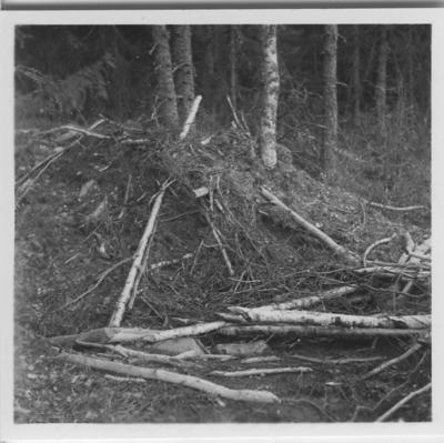 'Biologiska föreningens utfärd till Sveafallen och Villingsbergs kronopark. ::  :: Ett flertal bäverfällda träd liggandes på marken, björk och gran i bakgrunden. . ::  :: Se fotonr. 4226:1-34, 4228:1-3 och 4229:1-3 från samma utfärd.'