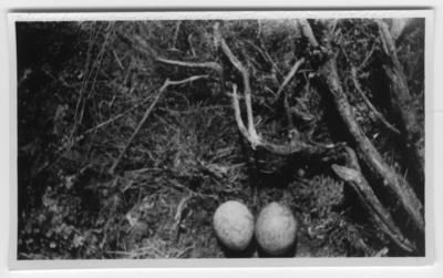 'Pilgrimsfalkbo med 2 ägg, fläckiga. Se även fotonr. 4416:1 samt 4429. ::  :: Ingår i serie med fotonr. 4401-4440.'