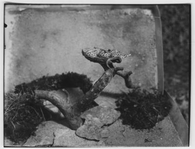 '1 leopardsnok, klättersnok, ligger ihopringlad i en gren. ::  :: Ingår i serie med fotonr. 4501:1-60 ur ingenjör Otto Cyréns  ''Ormar i fantasi och verklighet''. Bilden är med på s. 152 i verket.'