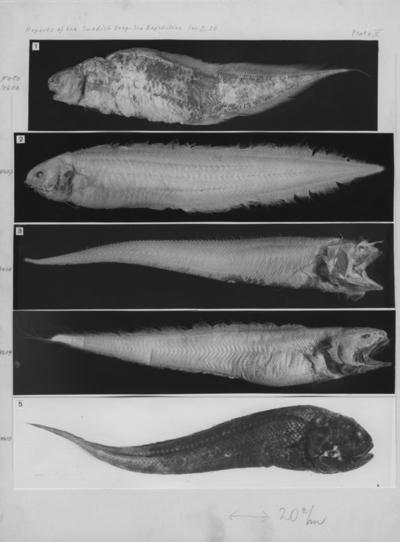 'Nr 2) 1 st Barathrites iris sedd från sidan. ::  :: Ingår i serie med fotonr. 4606-4610, ur Orvar Nybelin: Deep-Sea Bottom-Fishes. Plate V, fig. 1. Reports of the swedish deep-sea expedition Volym 2 häfte 20. ::  :: Stämpel på baksidan: ''Elanders boktryckeri aktiebolag, Douglas Elander''.'