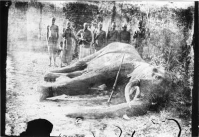 'Diverse fotografier från bl.a. dåvarande Nordrhodesia, nu Zambia, tagna av Konsul Magnus Leijer. ::  :: En fälld elefant, mot kroppen står ett gevär lutat. Bakom står sju män, en av dem håller i ett gevär.'