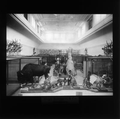 '''Svenska museer'' :: Diaduplikat av bilder i fotoarkivet. ::  :: Vy över däggdjurssalen, med montrar och horn på väggarna, de monterade djuren ännu inte placerade i montrarna utan fritt på golvet.'