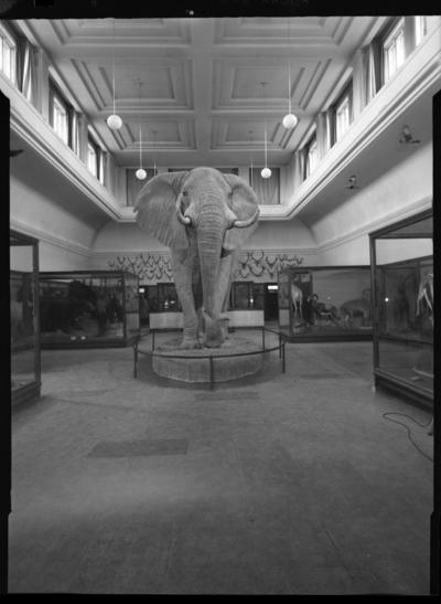 'Ingår i en serie med Fotonr. 5419 med Göteborgs Naturhistoriska museums olika vykort genom åren. ::  :: Elefanten på Göteborgs Naturhistoriska museum fotograferad framifråm. Vy över däggdjurssalen.'