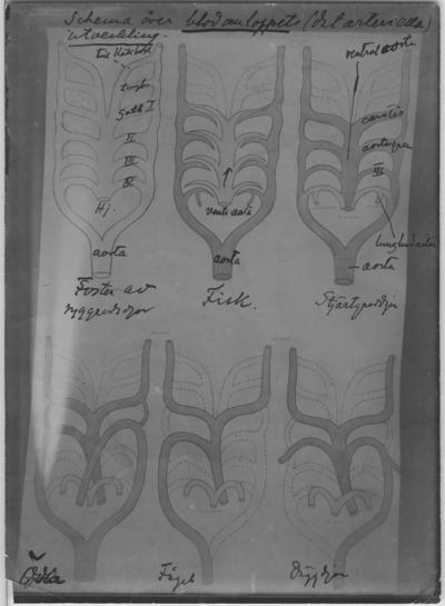'Teckning av ''schema över blodomloppet (det arteriella) hos ryggradsdjur, fisk, Urodela (stjärtgroddjur) ödla, fågel samt däggdjur. Handskrivna bläckanteckningar på ett exemplar. ::  :: ''Fotografier använda vid dissektionskursen våren 1928'' . :: Avfotograferade teckningar på skelett och organ. :: På baksidan av vissa står det Kerstin Nyblén :: V.T.-18 :: , ur bok'