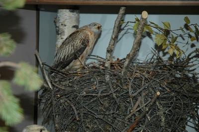 'Biologisk grupp med glada och ägg i bo, hane vid bo med ägg. Fyndort: Småland. Fynddatum: 1917-06-06. ::  :: Ingår i serie med fotonr. 7105:1-8.'