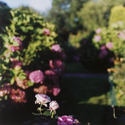 Brandane rose.de la série Foundlings
