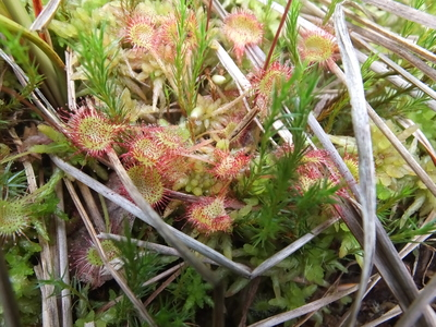 Round-leaved sundew from Iaz