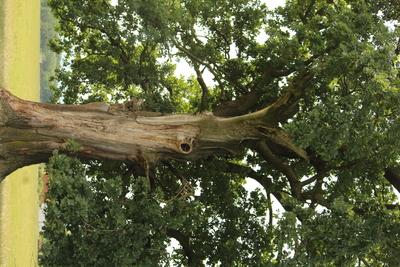 Oak from Nușfalău