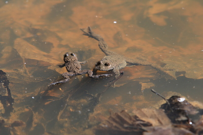 Yellow-bellied toad (Bombina variegata) from Nușfalău