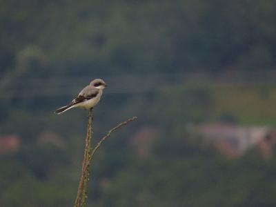Great Grey Shrike (Lanius excubitor) from Iaz