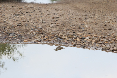Common Sandpiper(Actitis hypoleucos) from Zăuan