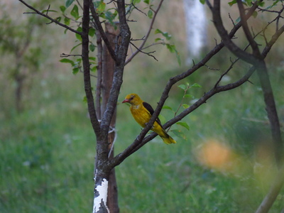 Golden Oriole (Oriolus oriolus) from Drighiu