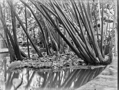 Jardin botanique de Bruxelles : Cyperus papyrus #1718