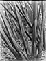 Jardin botanique de Bruxelles : Cyperus papyrus #0148