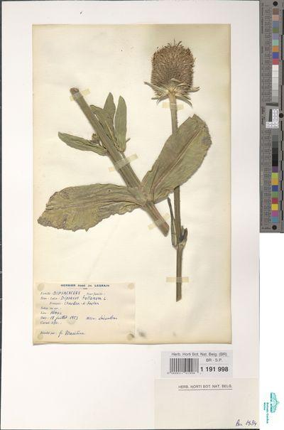 Dipsacus fullonum L.