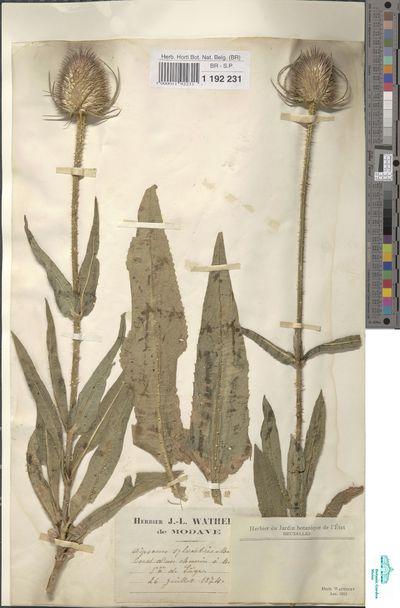 Dipsacus sylvestris Huds.