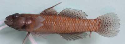 Corcyrogobius liechtensteini (Kolombatovic, 1891)