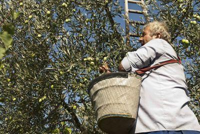 Ordeño del olivo