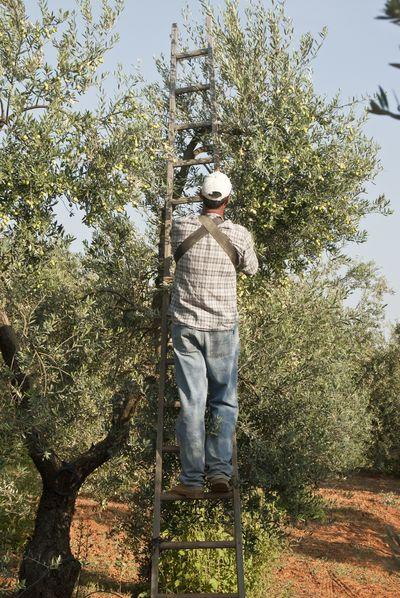 Cosechado de la copa del olivo