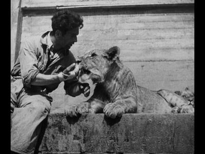 Stado lwów w warszawskim ogrodzie zoologicznym
