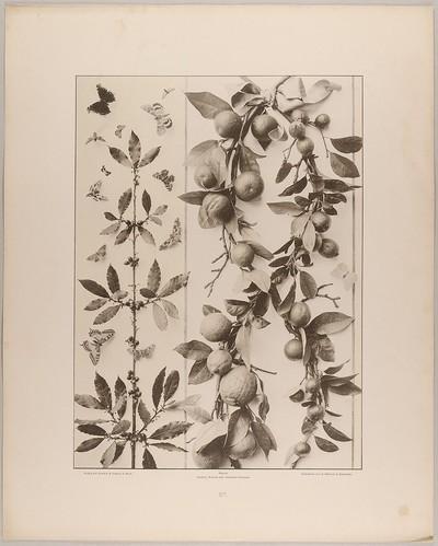 57. Füllung und Feston aus Lorbeer, Citronen und Orangen mit Schmetterlingen