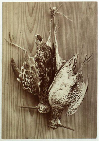 Sumpfschnepfe (Scolopax gallinula)