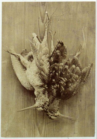 Waldschnepfe (Scolopax rusticola)
