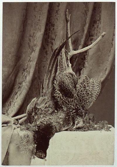 Fasanen (Phasianius colchycus)