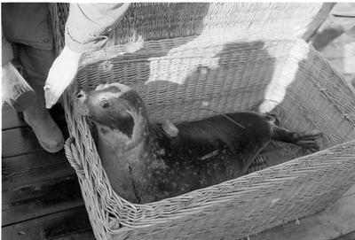 Oosterschelde, Roggenplaat. Vrijlating van vijf zeehonden in de Oosterschelde, voorzien van zenders,  om hun gedrag te kunnen volgen. Het betreft een experiment van de directie Natuur- Milieu en Faunabeheer van het Ministerie van Landbouw en Visserij, de stichting Zeehondencreche Pieterburen en het Rijksinstituut voor Natuurbeheer (RIN).Er was veel media-aandacht voor deze gebeurtenis.