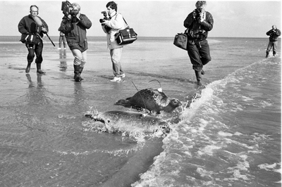 Oosterschelde, Roggenplaat. Vrijlating van vijf zeehonden in de Oosterschelde, voorzien van zenders,  om hun gedrag te kunnen volgen. Het betreft een experiment van de directie Natuur- Milieu en Faunabeheer van het Ministerie van Landbouw en Visserij, de stichting Zeehondencreche Pieterburen en het Rijksinstituut voor Natuurbeheer (RIN).Er was veel media-aandacht voor deze gebeurtenis. Personen onbekend.